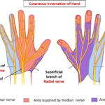 hand innervation